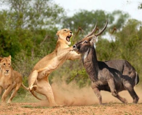 Masai Mara animals