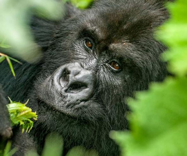 Budget Uganda Gorilla Safaris